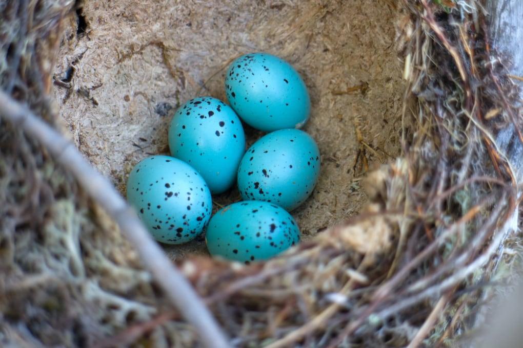 Perché i gusci delle uova hanno colori diversi?
