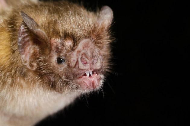 pipistrelli-vampiri