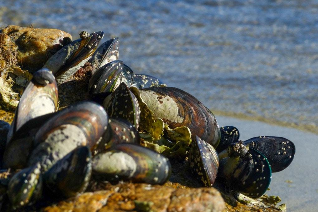 Una forma infettiva di cancro ha colpito le cozze dell'Atlantico