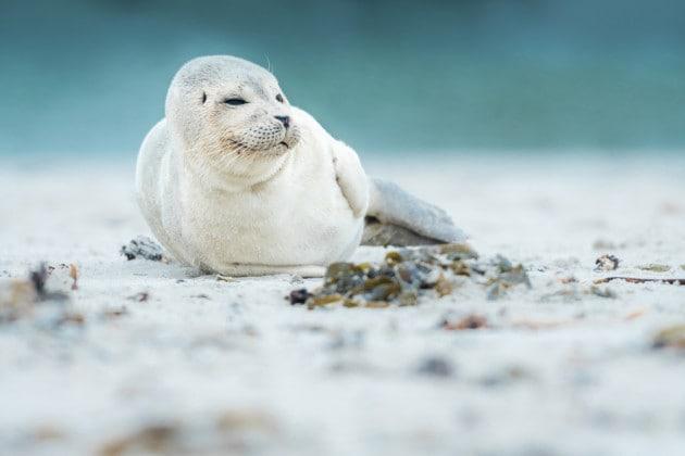 Le foche muoiono di morbillo e la colpa è del riscaldamento globale