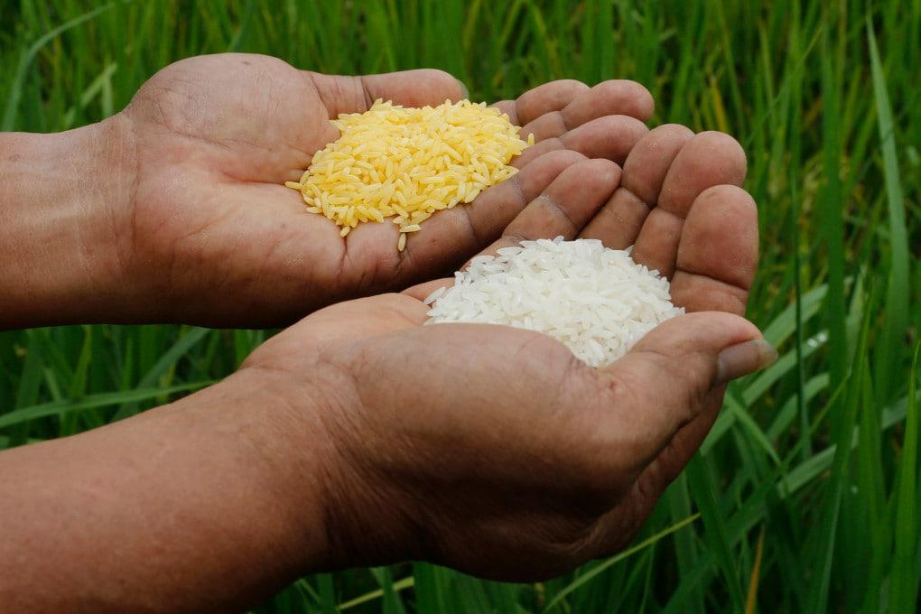 Golden Rice: riso OGM per compensare la carenza di vitamina A