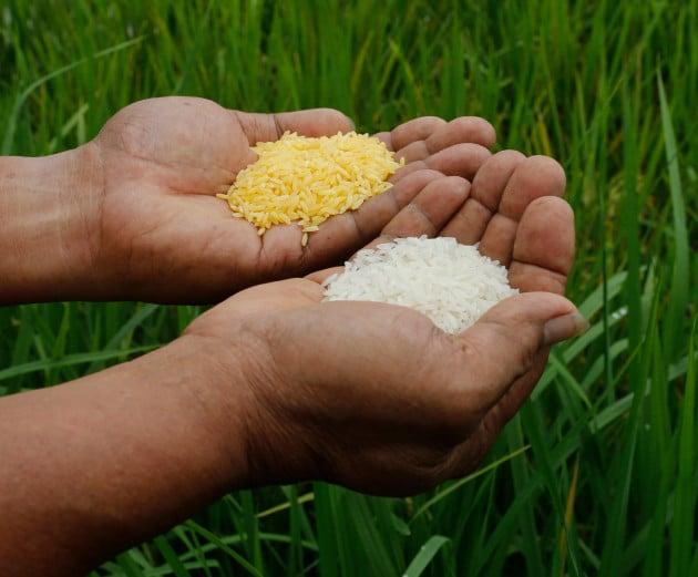 OGM: il Bangladesh verso l'approvazione del Golden Rice