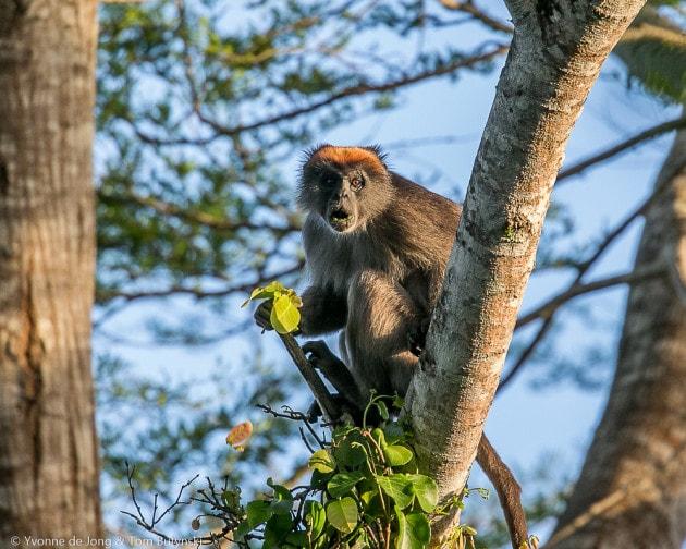 Primati: colobo rosso orientale (Procolobus rufomitratus)