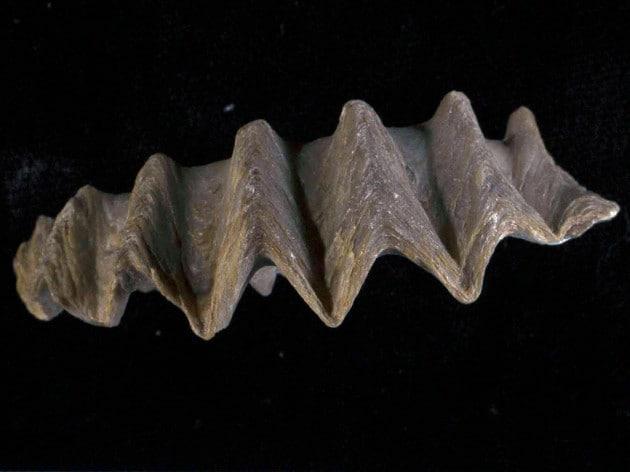 La fine dei dinosauri nel guscio di un'ostrica