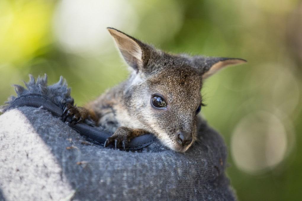Cucciolo di Wallaby tammar