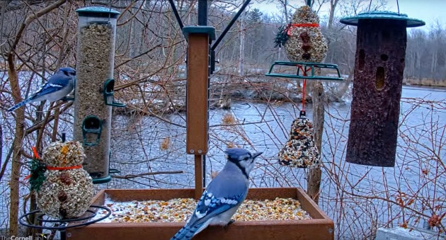 La webcam sugli uccelli della Cornell University