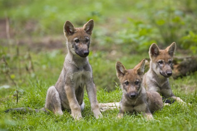 Anche i lupi giocano a palla