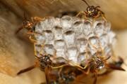 Le vespe si riconoscono guardandosi in faccia: un'evoluzione rapidissima