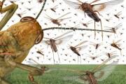 In Kenya è in corso la peggior invasione di locuste del millennio