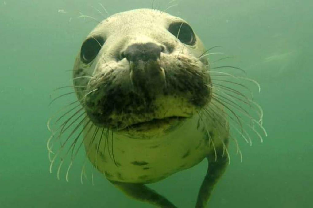 Una foca grigia selvatica.