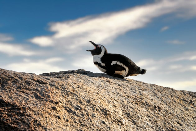 I vocalizzi dei pinguini seguono le regole della sintassi umana