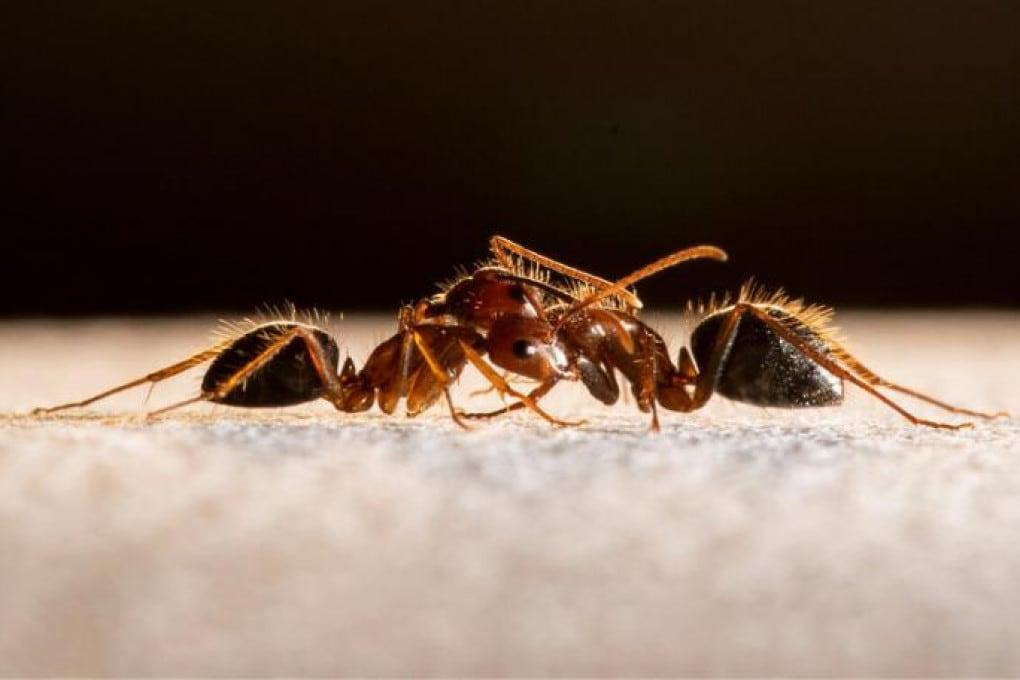 Lotta tra formiche