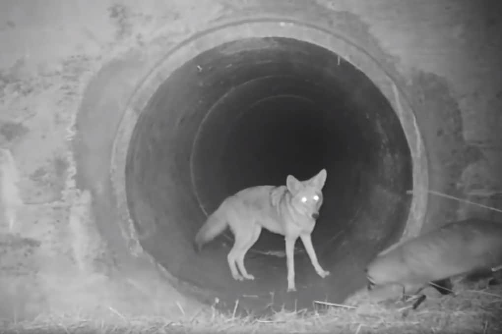 Coyote e tasso