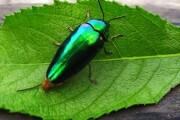 Gli insetti hanno le ali iridescenti per mimetizzarsi meglio