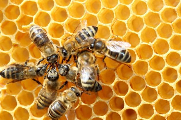 Le api danzano... con i loro dialetti
