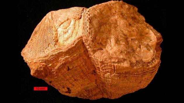 bivalve-del-cretaceo