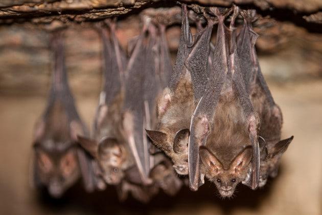 Come lavorano gli scienziati che vanno a caccia di coronavirus nei pipistrelli