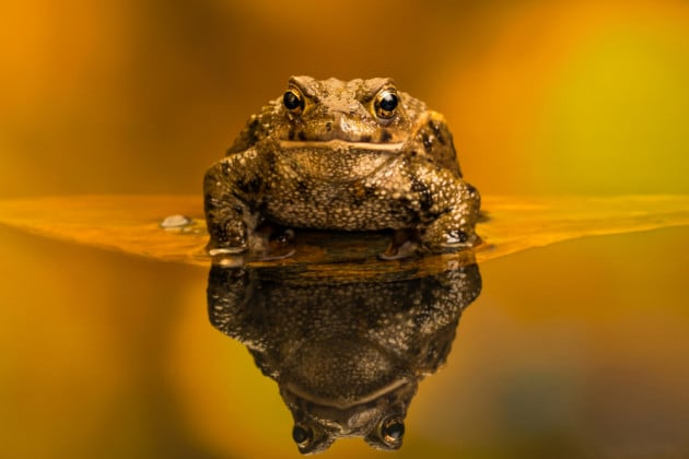 Si può ipnotizzare una rana?