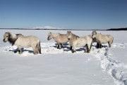 Cavalli e bisonti salveranno il permafrost
