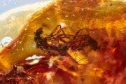 L'accoppiamento tra due mosche congelato nell'ambra