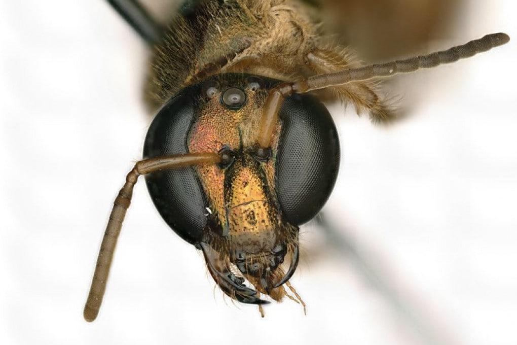 Un'ape metà femmina e metà maschio