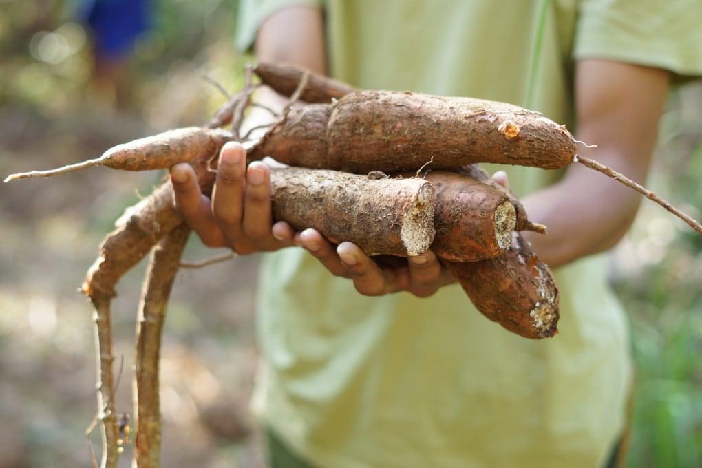 Cibo locale: radici di manioca