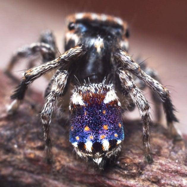 Le foto delle nuove spettacolari specie di ragno pavone scoperte in Australia