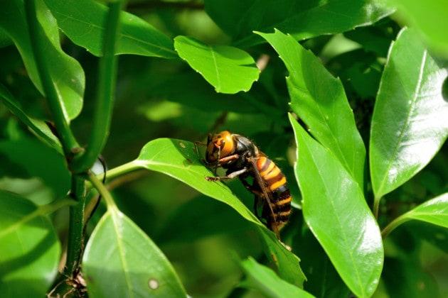 Il calabrone asiatico killer di api è arrivato negli USA
