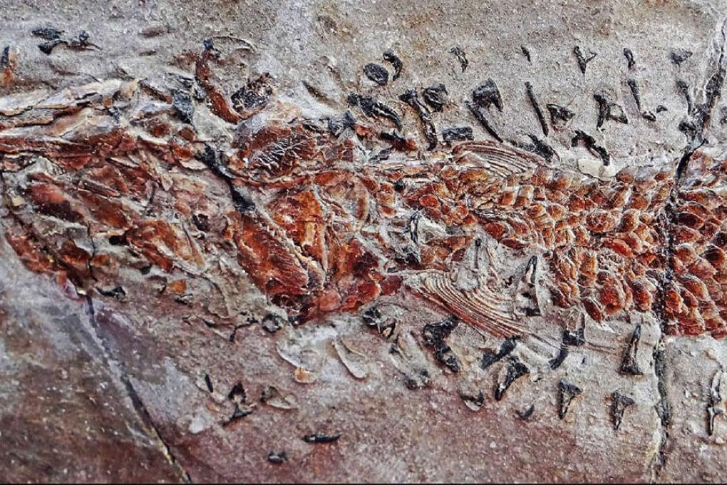 Il più antico attacco di un calamaro