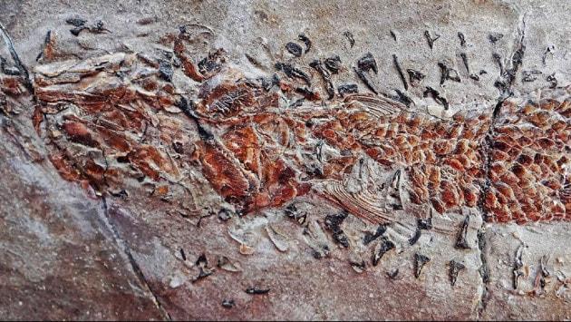 attacco-fossile-di-un-calamaro