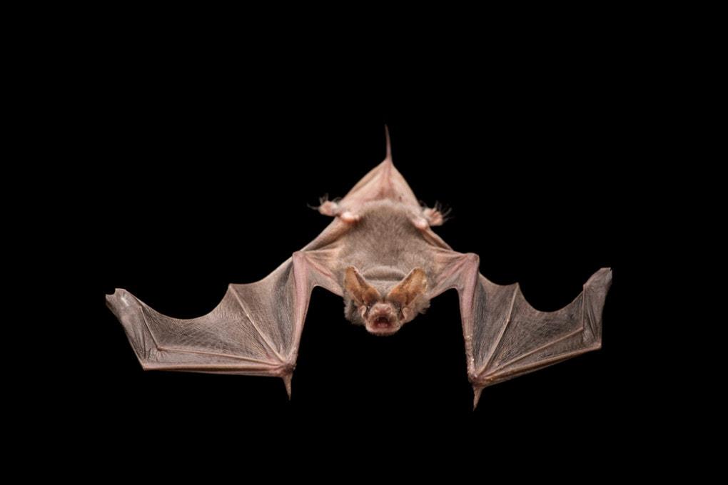 Pipistrelli armi segrete - Bat bomb