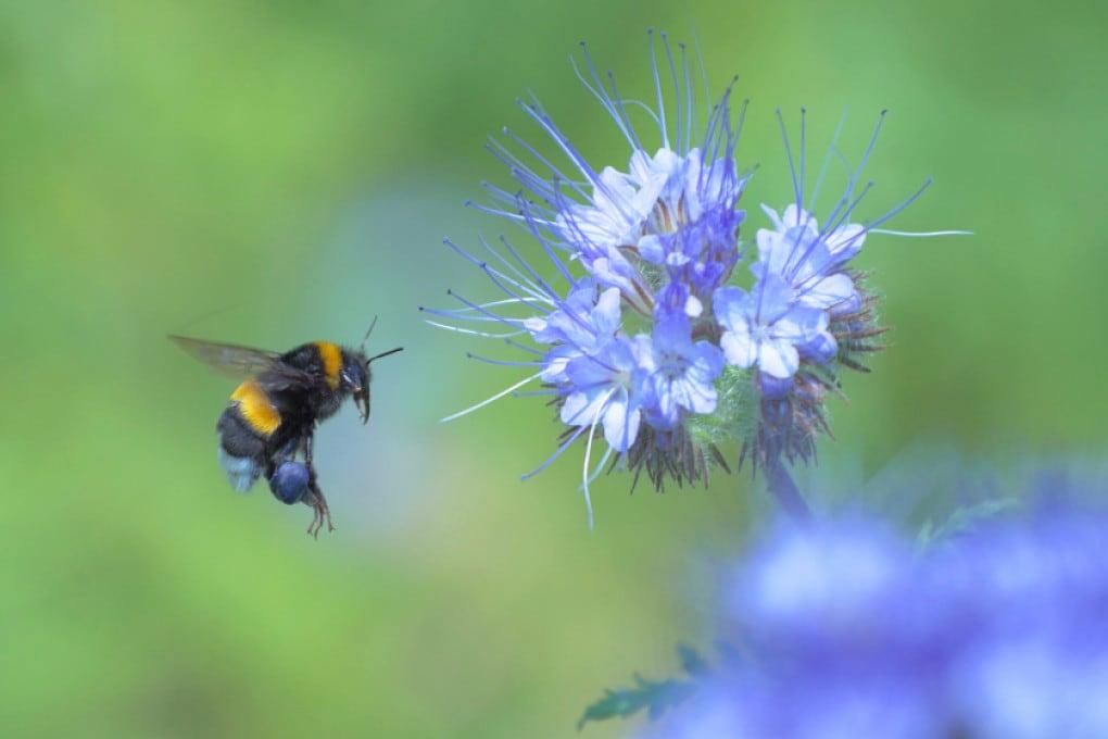 Bombi e polline