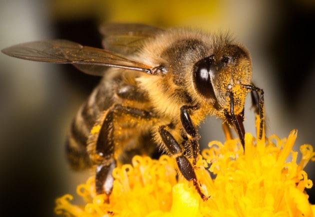 Come riconoscere le api