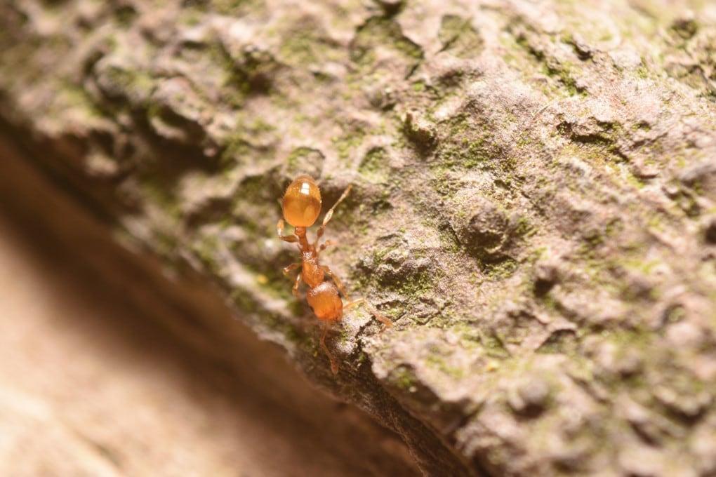Formiche: un esemplare di Solenopsis molesta.