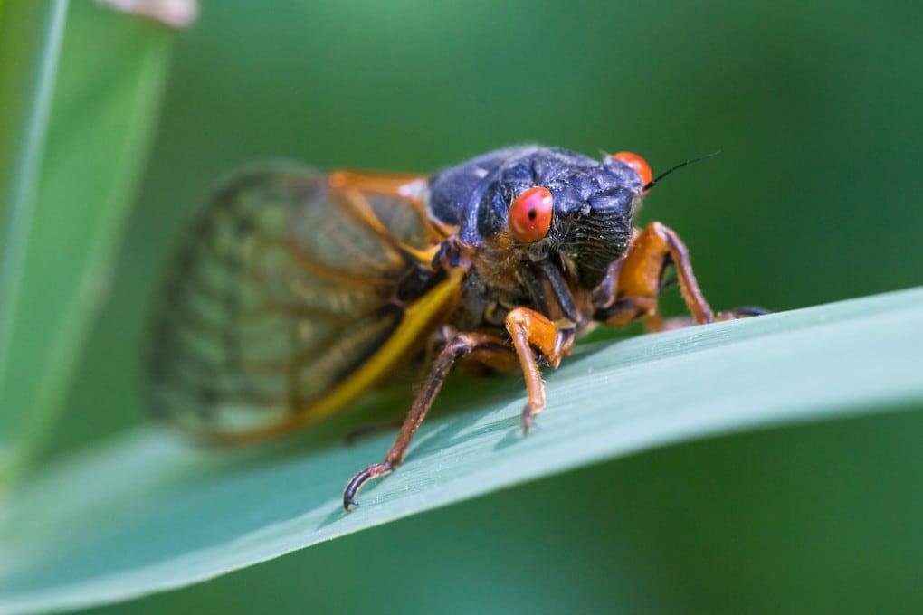 Una cicala periodica della covata del 2013.