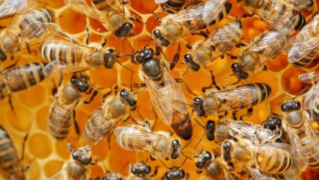 Qual è l'ape regina?