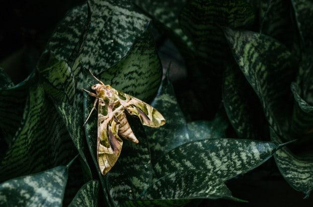 Una sfinge dell'oleandro (Daphnis nerii).