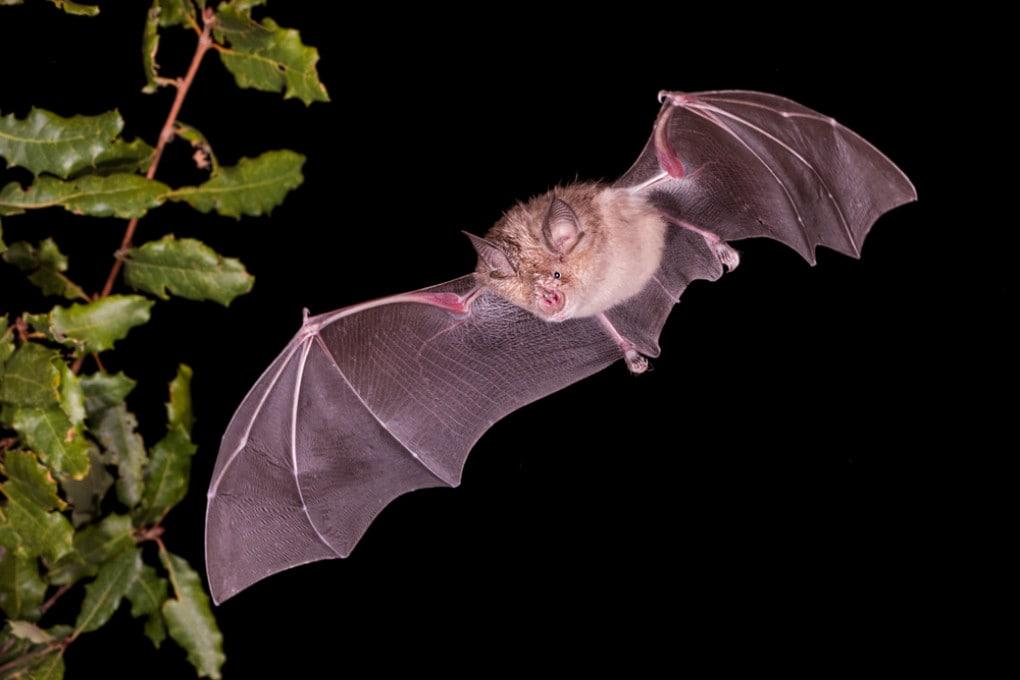 I pipistrelli del genere Rhinolophus hanno una lunga storia di coevoluzione con i coronavirus.