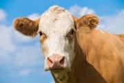 Contro la covid: gli anticorpi delle mucche