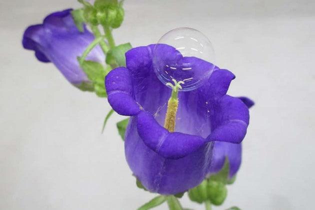 Api in declino, i fiori si impollinano con le bolle di sapone