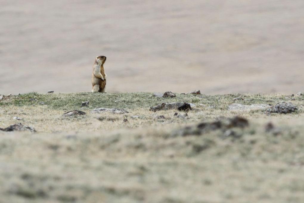 Marmotta in Siberia