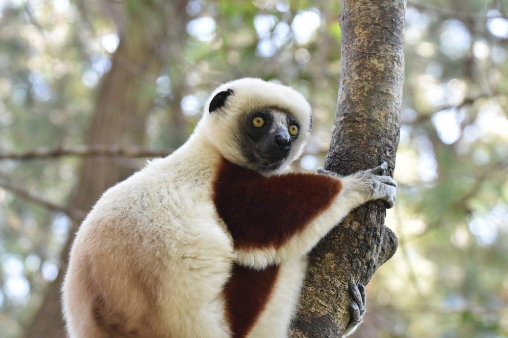 Lemuri: il sifaka di Verreaux (Propithecus verreauxi).