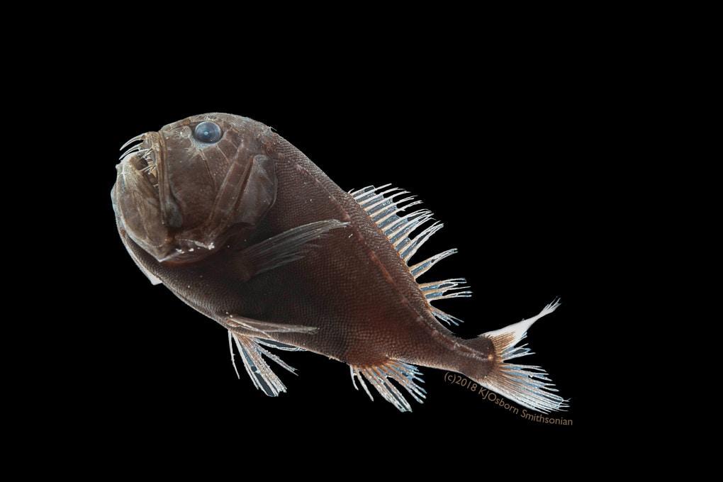 Anoplogaster cornuta, il pesce invisibile.