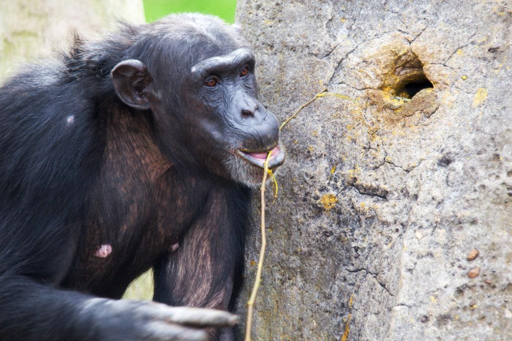 Gli scimpanzé (Pan troglodytes) sanno usare bene diversi strumenti.