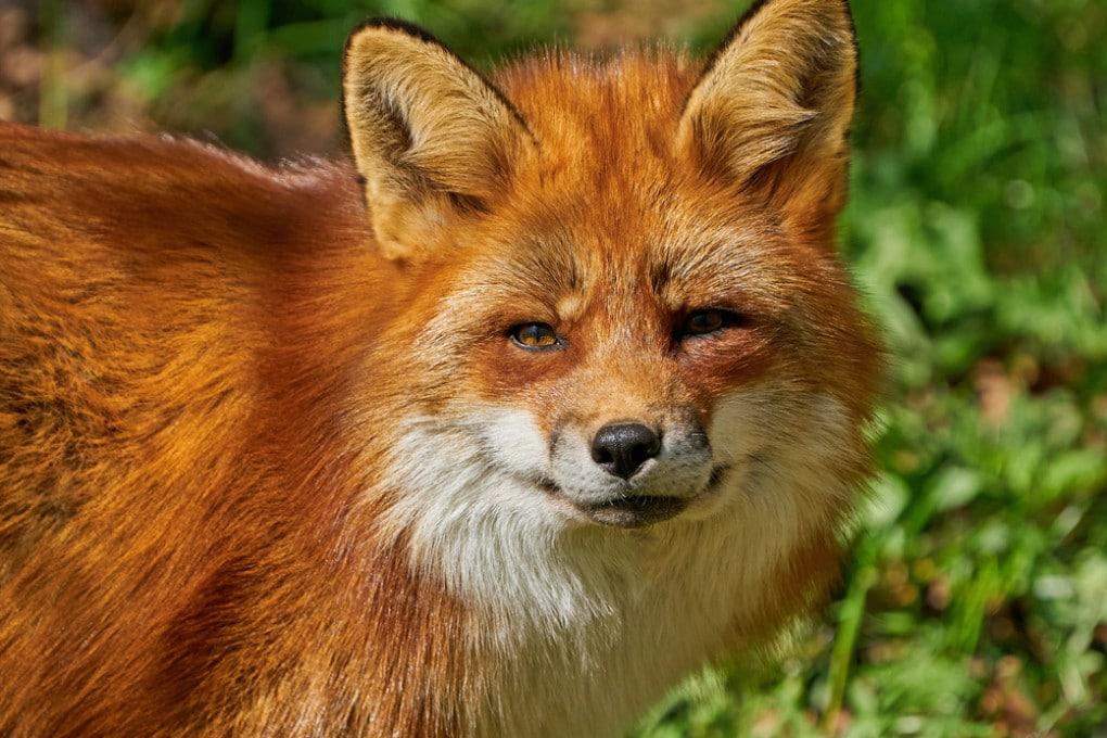 Una volpe rossa (Vulpes vulpes).