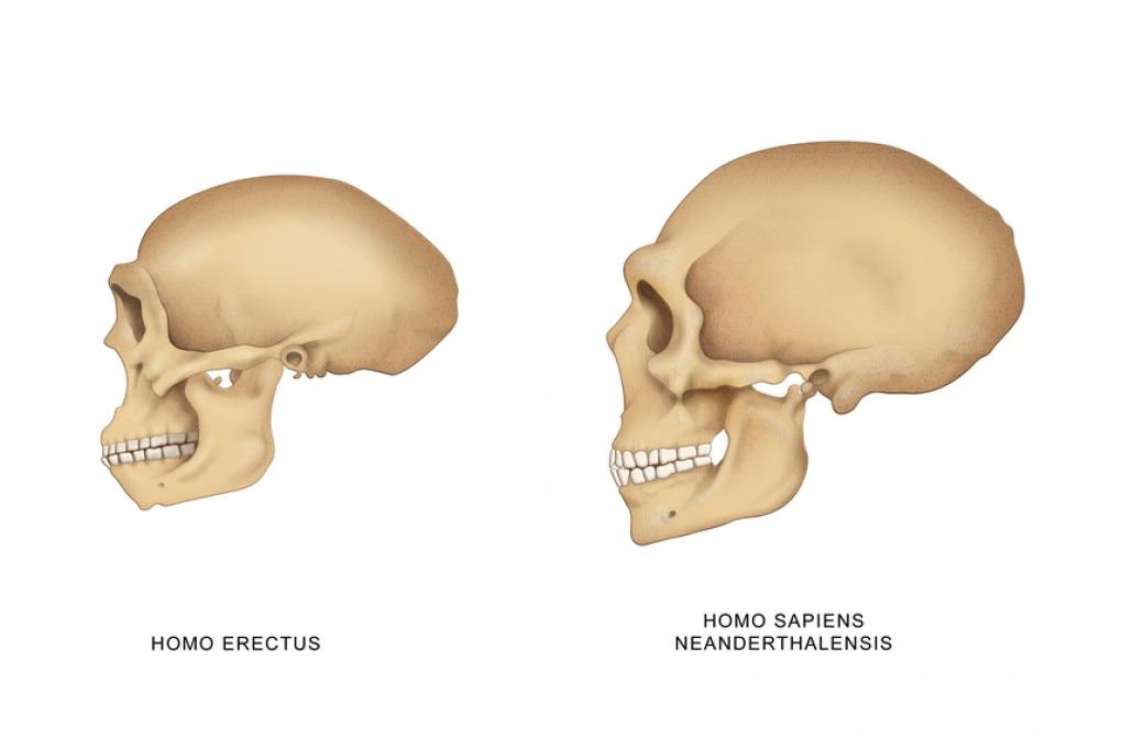 Homo, evoluzione del cranio
