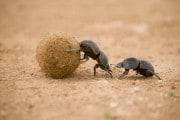 Gli scarabei stercorari sono molto utili all'ambiente
