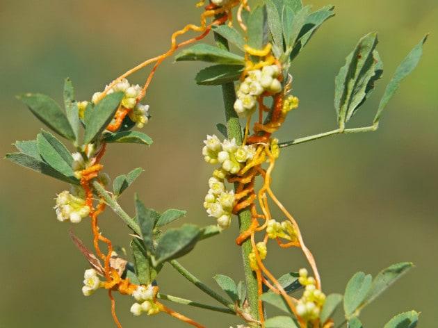 La pianta parassita che ruba la fioritura all'ospite