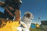 Il veleno di ape è un'arma contro il cancro al seno?
