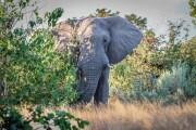 L'inatteso ruolo degli elefanti maschi anziani